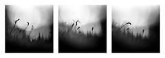 A little world (Mathieu Calvet) Tags: blackandwhite nature square moss triptych noiretblanc pentax nb 100mm triptyque mousse carr k3 midipyrnes fa100macro