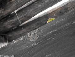 Reptiles de Dominicana 2 (miguelcuevas_p) Tags: color lagarto techo reptil infraganti selectivo