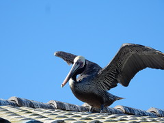 Brown Pelican, Shelter Island, San Diego (plunkettb) Tags: bird sandiego brownpelican shelterisland