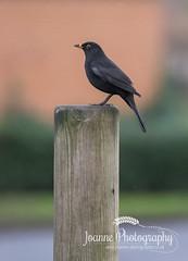 Perched Bird (joannephotographyuk) Tags: bird 2016 localpark