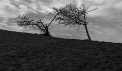 Struggling sand dune sillhouette (GeorgeOfTheGorge) Tags: blackandwhite bw tree silhouette clouds oregon dark coast march us florence sand unitedstates outdoor branches dramatic brooding pacificcoast struggling sanddunesilhouette