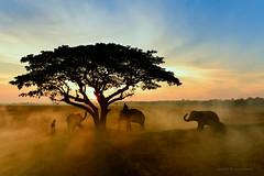 The elephant village (SaravutWhanset) Tags: travel summer people sunlight mist elephant animal landscape asian asia outdoor wildlife traditional human afarica rimlight jouner