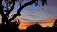 Sunset Silhouettes (Jim Mullhaupt) Tags: pictures camera pink blue sunset red wallpaper sky orange sun color tree weather silhouette yellow clouds landscape photography gold evening photo oak nikon flickr sundown florida dusk snapshot picture palm exotic p900 liveoak spanishmoss tropical coolpix bradenton endofday cloudsstormssunsetssunrises nikoncoolpixp900 coolpixp900 nikonp900 jimmullhaupt