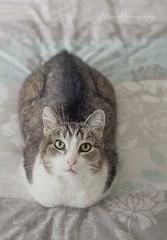 Alley (AllportPhotography) Tags: pet cute beautiful animal cat fur bigeyes whiskers greeneyes catseyes catonbed catlookingup