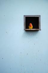 Chirp (thoma.melanie) Tags: blue red cute bird birds yellow fly pastel small parrot cage cutie tiny minimalism tweety minimalistic minimalist papagei loro birdy vogel chirp captivity pjaro tweet pastell  piep  pioupiou vgelchen minimalismus piou vibrantminimalism