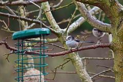 A Soggy Long-tailed Tit (AndyorDij) Tags: uk england tree bird unitedkingdom birdfeeder rutland longtailedtit 2016 empingham