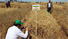 PVS_Wheat_Turkey (ICARDA-Science for Better Livelihoods in Dry Areas) Tags: turkey farmers northafrica climatechange mena pulses ifad nutrition resilience drylands icarda incomes westasia croprotation seedsystems conservationagriculture euifad wheatlegumecroppingsystems
