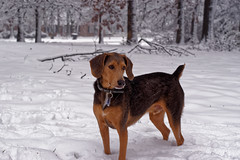 Snow Beagleman (ss.davis519) Tags: winter portrait dog snow cold beagle animal puppy outside outdoors tn nashville candid doberman 25faves beagleman photographsbysterling