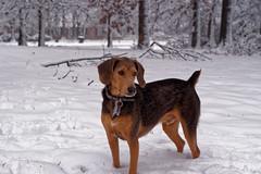 Snow Beagleman (ss.davis519) Tags: winter portrait dog snow cold beagle animal puppy outside outdoors tn nashville candid doberman 25faves beagleman photographsbysterling