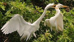 3S5X7131   Too Loud (Eileen Fonferko) Tags: nature wildlife rookery nesting greategrets squawking