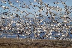 Flock of Seagulls (andyflyer) Tags: seagulls beach nature birds fife gull gulls standrews seabirds flockofbirds herringgull fifecoast northeastfife scorries