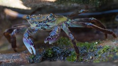 Blue swimmer crab (kayak360) Tags: morning blue seaweed beach coral sandy crab australia bottoms shelly swimmer muddy seagrass rubble