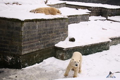 Eisbr Fiete im Zoo Rostock 23.01.2016  015 (Fruehlingsstern) Tags: vienna zoo polarbear vilma eisbr erdmnnchen fiete zoorostock geparden baumknguru canoneos750 tamron16300