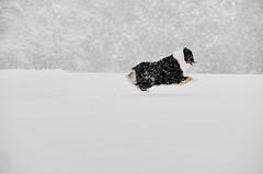 snowzilla (kiley fisher) Tags: dog snow frisbee aussie australianshepherd blizzard hover doge snowzilla snowmageddon thankssnowbama