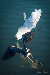 Top Gun (ronniegoyette) Tags: birds chase waterfowl greatblueheron 2016 droh dailyrayofhope