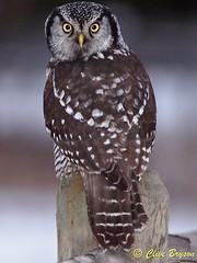 Northern Hawk Owl looking back (clive_bryson) Tags: canada britishcolumbia lookingback shuswap northernhawkowl clivebryson