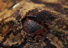 Hypsiboas geographicus (Spix, 1824) (alrcardoso) Tags: hypsiboasgeographicus hypsiboas geographicus hylidae anura amphibia anfíbio toad frog mapfrog map sapo rã eye fauna
