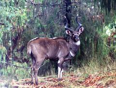 Nyala, Ethiopia (Animal People Forum) Tags: africa wild animals outside outdoor antelope ethiopia mammals nyala freeranging