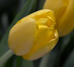 Yellow Tulip (linda_lou2) Tags: yellow curves tulip odc 105mm 48366 day48366 366the2016edition 3662016 17feb16