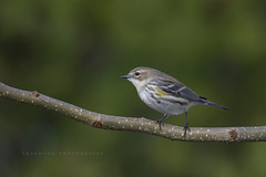 Yellow-rumped Warbler (santosh_shanmuga) Tags: ocean new light wild bird nature animal yellow outdoors newjersey nikon outdoor wildlife birding nj aves jersey 500mm barnegat warbler yellowrumped songbird barnegatlight passerine rumped d3s