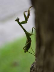 Mantis Religiosa (flachdla) Tags: macro garden mantis nikon insecto religiosa mantodea mamboreta d3100