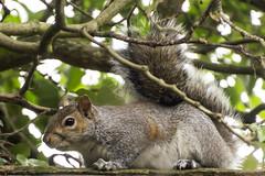 Sciurus Carolinensis (Charliebubbles) Tags: canon eos squirrel wildlife graysquirrel sciuruscarolinensis easterngraysquirrel canoneos60d 60d050216