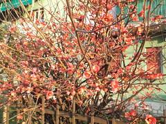 176 (en-ri) Tags: blossoms fujifilm arbusto fiorellini boccioli