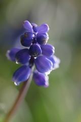 Purple shine - La lumire de l'me (CcileAF) Tags: flowers plants colour macro nature canon garden lights spring purple bokeh dreamy tamron