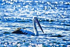 Pelican (Mr Clicker / Davin) Tags: sea bird beach nature mr australia pelican davin clicker longreef resverve