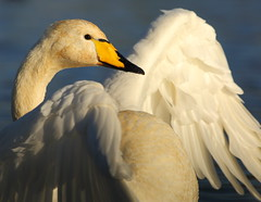 Whooper Swan (Martial2010) Tags: canon scotland glasgow loch swam whooper hogganfield