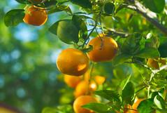 Last Mandarines of 2015 (Palenquero Quercus agrifolia) Tags: 90mm f28 elmarit leicam8 teleelmaritm teleelmarit90mmf28
