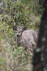 Huemul (Ariadna Sprio) Tags: patagonia santacruz argentina macho ciervo elchalten extincion huemul especiesenpeligrodeextincion estancialoshuemules