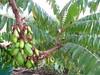 starr-130221-1602-Averrhoa_bilimbi-leaves-Waihee-Maui (Starr Environmental) Tags: averrhoabilimbi