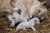 DSC_3187WM (Linda Smit Wildlife Impressions) Tags: cats white nature animal cat mammal photography big nikon outdoor african wildlife birth lion d750 cubs endangered lioness bigcats cecil carnivore lioncubs givingbirth