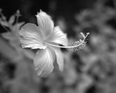Pink Hybiscus sans Colour (JamCanSing) Tags: blackandwhite plant flower canon singapore gray shades infrared hybiscus bnw nearinfrared fullspectrum hortpark 5dmk2 canonsg