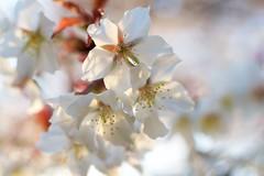 P1010574  Cherry Blossoms (Keishi Etoh rough-and-ready photoglaph) Tags:  voigtlndernokton25mmf095 voigtlnder cosina 50mm panasonic lumix gx7 panasoniclumixgx7 dmcgx7 panasonicdmcgx7 microfourthirds  miyama flower  mf manualfocuslens  primelens fixedfocallengthlens