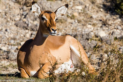 Impala_151201_RAS (f.chabardes) Tags: france impala animaux bovidae aude languedoc decembre 2015 4t impalas mammifères aepycerosmelampus artiodactyles narbonnais aepycerotinae réserveafricainesigean