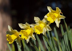 2016_03_0405 (petermit2) Tags: heritage gardens garden yorkshire daffodil doncaster southyorkshire englishheritage brodsworth brodsworthhall