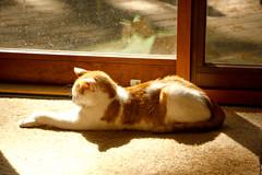 Sunbeam Happy Spirit (2) (tommaync) Tags: family orange pet white face animal cat nc nikon feline spirit kitty northcarolina ears april paws sunbeam chathamcounty 2016 d40