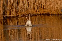 Futenbalts (Chantal van Breugel) Tags: vogels flevoland urk canon70300 futen watervogels balts canon50d