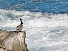 Brown Pelican, La Jolla, CA 3/10/16 (LJHankandKaren) Tags: pelican brownpelican