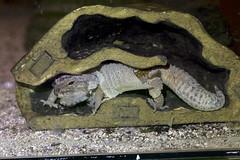 Carla Hutung Leopardgecko (prilfish) Tags: skin gecko shedding leopardgecko