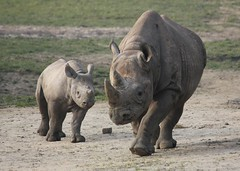 Black Rhino and Calf (RedCat09) Tags: blackrhino howletts blackrhinocalf