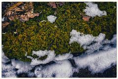 Snowy Moss, 2016.04.09 (Aaron Glenn Campbell) Tags: snow detail nature leaves closeup rural moss hiking pennsylvania sony country border sigma textures frame lehman nepa naturetrails bmr luzernecounty backmountain mirrorless a6000 emount 19mmf28exdn sonyalpha6000 ilce6000 backmountainregionalrecreationalcomplex