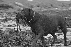 The Bourneville Hound (Michael C. Hall) Tags: dog seaweed beach labrador play retriever