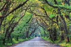 Botany Bay Dirt Road (Carol VanDyke) Tags: green nature spring offroad outdoor seasonal southcarolina charleston dirtroad botanybay backroad edistoisland liveoaks hangingmoss tunneloftrees fairytalelike