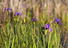 Wild Irises in the Prairie-6462 (Silva Image) Tags: heron birds river georgia aligator swamp spanishmoss egret okefenokeeswamp redshoulderhawk