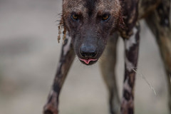 Painted red (africadunc) Tags: africa park wild dog up close african painted south national stare kruger satara orpen africanwilddogpaintedstarecloseuporpensatarakrugernati africanwilddogpaintedstarecloseuporpensatarakrugernationalparksouthafrica