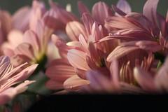Morning has broken like the 1st morning (Cristian Ştefănescu) Tags: morning pink light music flower love water licht dance lyrics blumen drop dew tanz musik blume morgen strauss roz lumina catstevens flori nichts dimineata petale liebeist morninghasbroken fruh floare