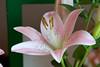IMG_3700 (Alessandro Grussu) Tags: fiori flowers blumen fiore flower blume pianta plant pflanze canon 20d macro giglio lily lilien